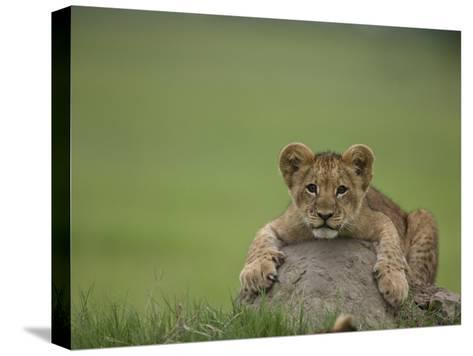 African Lion Cub, Panthera Leo, Lying across a Mound of Soil-Beverly Joubert-Stretched Canvas Print