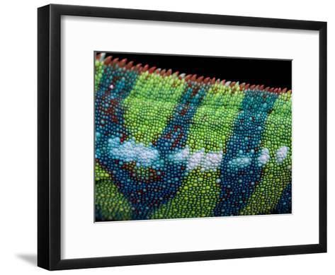 Vibrant Colored Skin of a Panther Chameleon, Furcifer Pardalis-Joel Sartore-Framed Art Print
