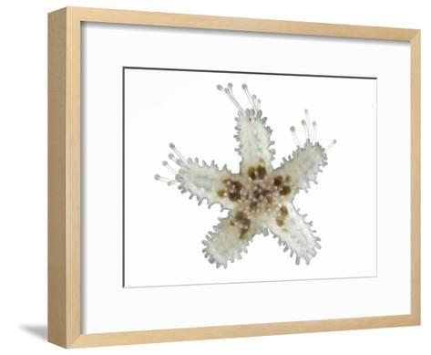 A Juvenile Six-Rayed Sea Star Displaying Tube Feet, Used for Locomotion-David Littschwager-Framed Art Print