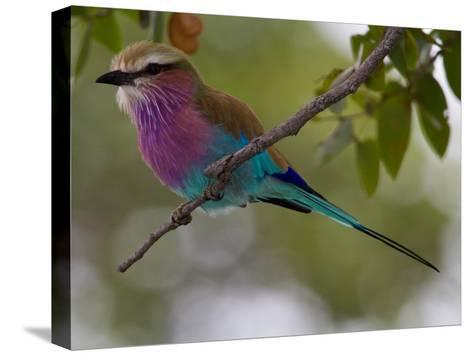 A Lilac-Breasted Roller Perching on a Tree Branch-Roy Toft-Stretched Canvas Print