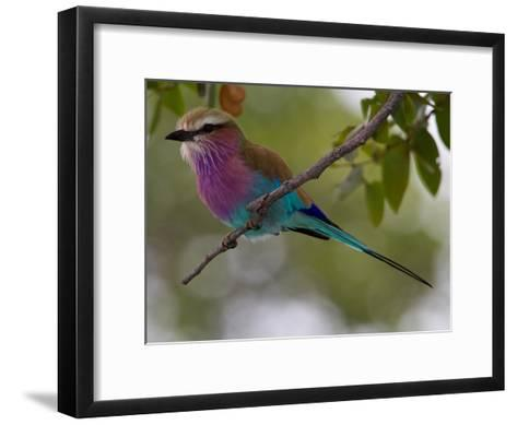 A Lilac-Breasted Roller Perching on a Tree Branch-Roy Toft-Framed Art Print