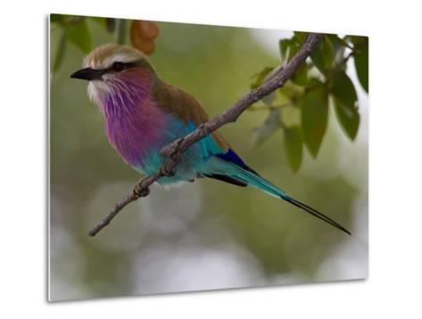 A Lilac-Breasted Roller Perching on a Tree Branch-Roy Toft-Metal Print