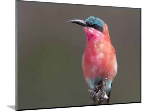 Portrait of a Southern Carmine Bee-Eater-Roy Toft-Mounted Photographic Print