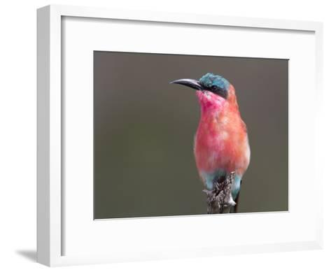Portrait of a Southern Carmine Bee-Eater-Roy Toft-Framed Art Print