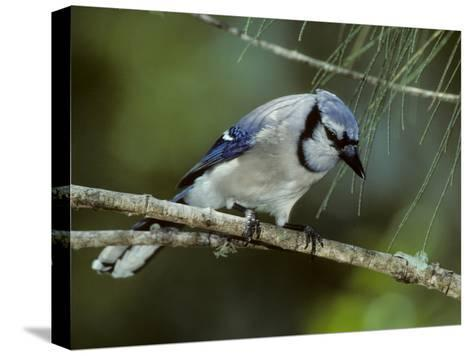 A Blue Jay, Cyanocitta Cristata, Perched on a Pine Tree Branch-Bates Littlehales-Stretched Canvas Print