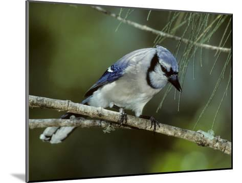 A Blue Jay, Cyanocitta Cristata, Perched on a Pine Tree Branch-Bates Littlehales-Mounted Photographic Print