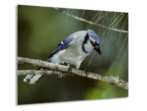 A Blue Jay, Cyanocitta Cristata, Perched on a Pine Tree Branch-Bates Littlehales-Metal Print