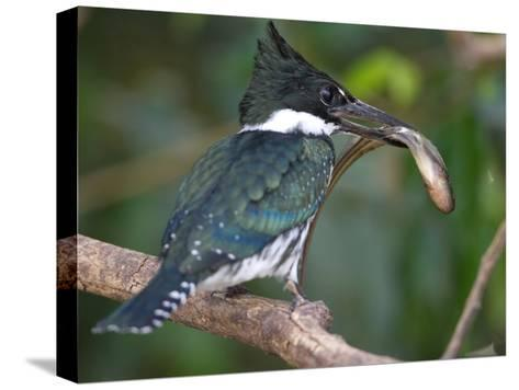 Amazon Kingfisher, Chloroceryle Amazona, with a Fish in it's Bill-Roy Toft-Stretched Canvas Print