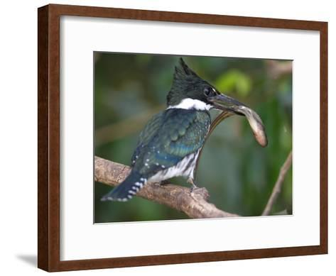Amazon Kingfisher, Chloroceryle Amazona, with a Fish in it's Bill-Roy Toft-Framed Art Print