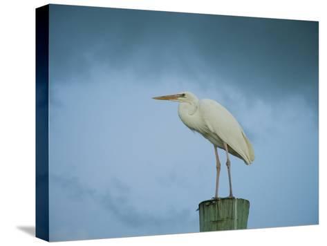 An Egret on a Pier in Key Largo, Florida-Karen Kasmauski-Stretched Canvas Print