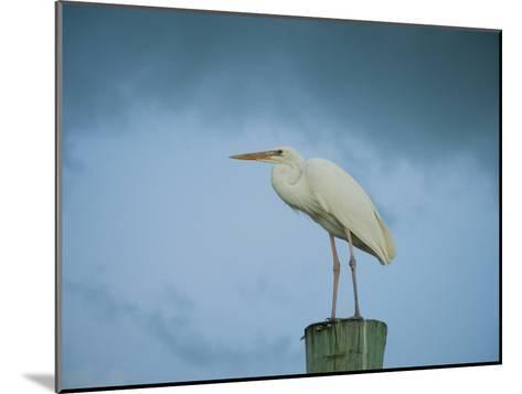 An Egret on a Pier in Key Largo, Florida-Karen Kasmauski-Mounted Photographic Print