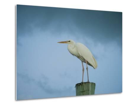 An Egret on a Pier in Key Largo, Florida-Karen Kasmauski-Metal Print