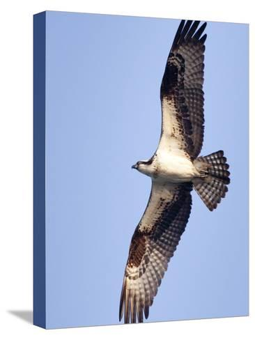 An Adult Osprey, Pandion Haliaetus, in Flight-Kent Kobersteen-Stretched Canvas Print