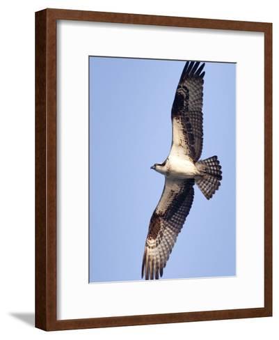 An Adult Osprey, Pandion Haliaetus, in Flight-Kent Kobersteen-Framed Art Print