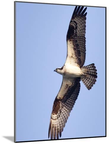 An Adult Osprey, Pandion Haliaetus, in Flight-Kent Kobersteen-Mounted Photographic Print