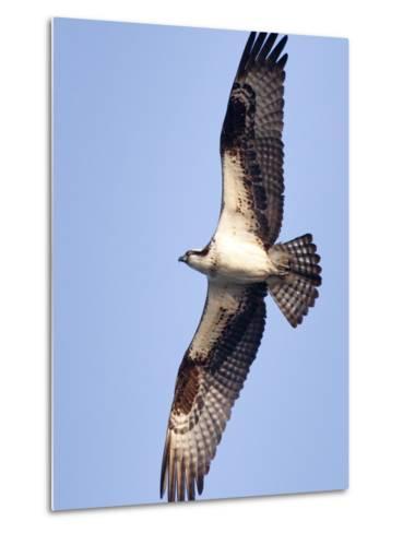 An Adult Osprey, Pandion Haliaetus, in Flight-Kent Kobersteen-Metal Print