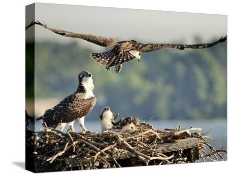 A Fledgling Osprey Lands in its Nest after One of its Early Flights-Kent Kobersteen-Stretched Canvas Print
