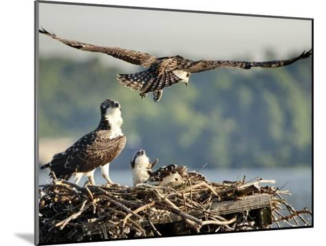 A Fledgling Osprey Lands in its Nest after One of its Early Flights-Kent Kobersteen-Mounted Photographic Print