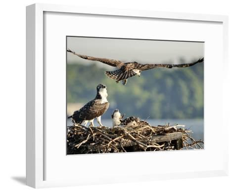 A Fledgling Osprey Lands in its Nest after One of its Early Flights-Kent Kobersteen-Framed Art Print