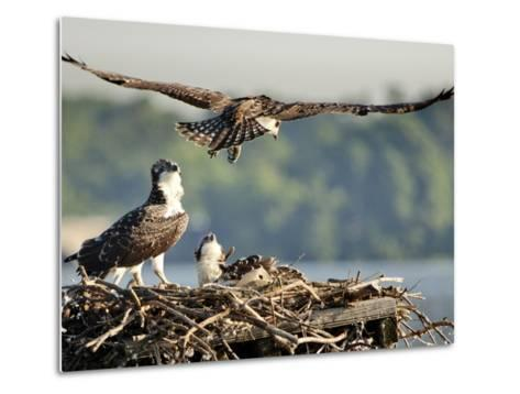 A Fledgling Osprey Lands in its Nest after One of its Early Flights-Kent Kobersteen-Metal Print