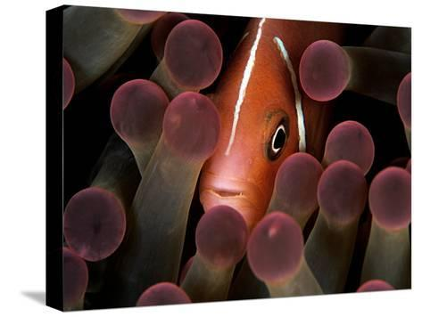 A Pink Anemonefish, Amphiprion Perideraion, Peeks Out from an Anemone-Mauricio Handler-Stretched Canvas Print