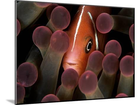 A Pink Anemonefish, Amphiprion Perideraion, Peeks Out from an Anemone-Mauricio Handler-Mounted Photographic Print