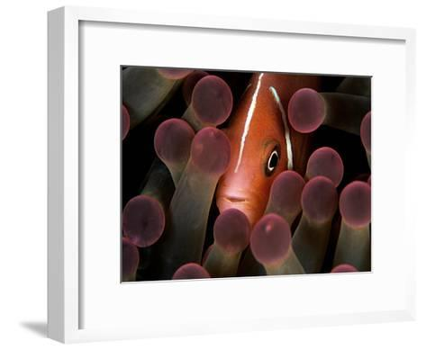 A Pink Anemonefish, Amphiprion Perideraion, Peeks Out from an Anemone-Mauricio Handler-Framed Art Print