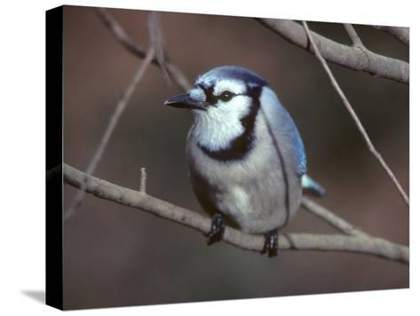 A Blue Jay, Cyanocitta Cristata, Perched on a Tree Branch-Bates Littlehales-Stretched Canvas Print
