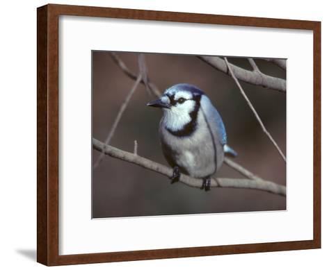 A Blue Jay, Cyanocitta Cristata, Perched on a Tree Branch-Bates Littlehales-Framed Art Print