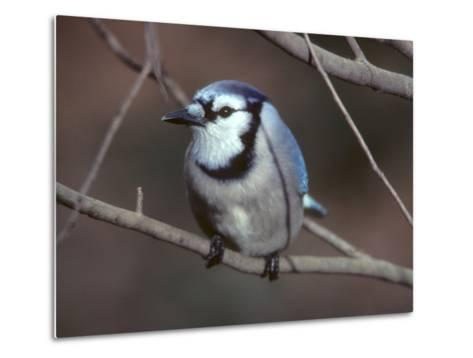 A Blue Jay, Cyanocitta Cristata, Perched on a Tree Branch-Bates Littlehales-Metal Print
