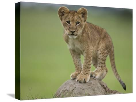 African Lion Cub, Panthera Leo, Standing on a Mound of Soil-Beverly Joubert-Stretched Canvas Print