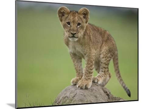African Lion Cub, Panthera Leo, Standing on a Mound of Soil-Beverly Joubert-Mounted Photographic Print