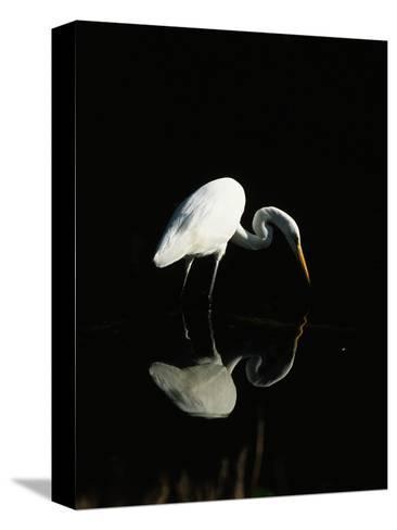 Great Egret-Nik Wheeler-Stretched Canvas Print