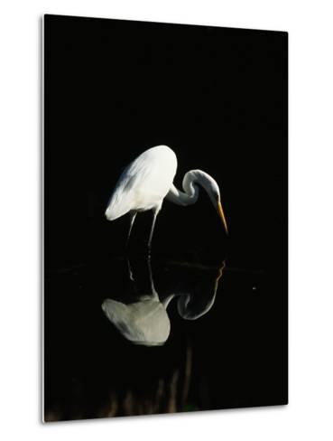Great Egret-Nik Wheeler-Metal Print