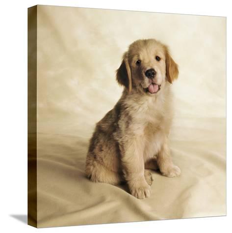 Golden Retriever Puppy-Christopher C Collins-Stretched Canvas Print