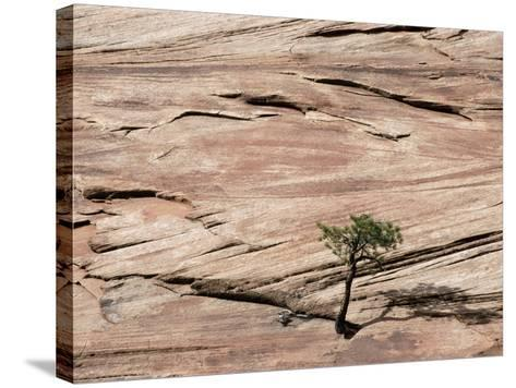 Lone Tree Growing in Rock Formation--Stretched Canvas Print