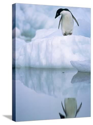 Adelie Penguin on Ice Floe-Theo Allofs-Stretched Canvas Print