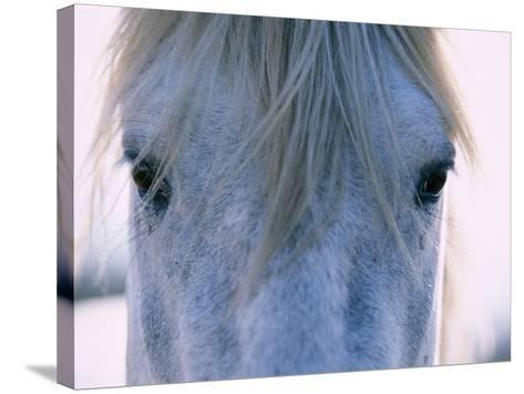 Camargue Horse-Frank Lukasseck-Stretched Canvas Print