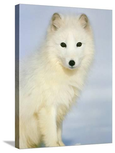 Polar fox sitting in the snow-Theo Allofs-Stretched Canvas Print