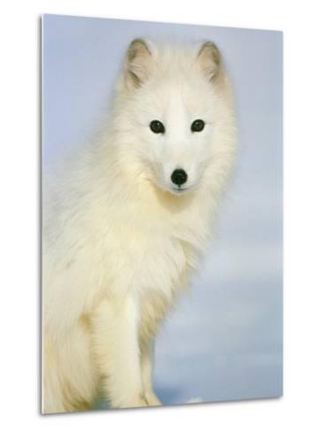 Polar fox sitting in the snow-Theo Allofs-Metal Print