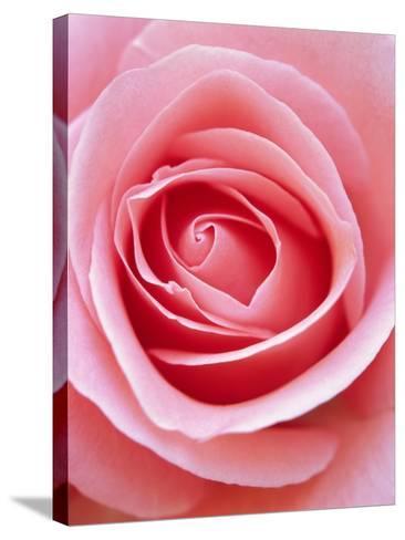 Pink rose-Herbert Kehrer-Stretched Canvas Print