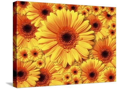 Sun flowers-Matthias Kulka-Stretched Canvas Print