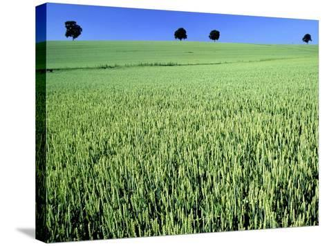 Wheat field-Frank Krahmer-Stretched Canvas Print