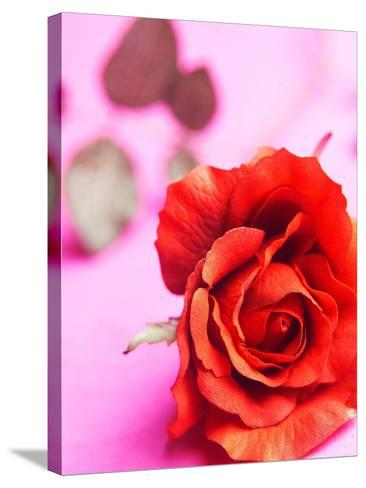 Red rose--Stretched Canvas Print