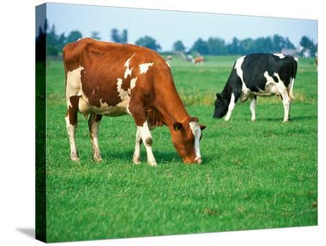 Cows on pasture--Stretched Canvas Print