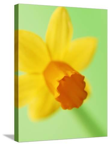 Yellow daffodil--Stretched Canvas Print