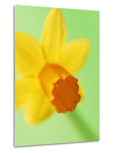 Yellow daffodil--Metal Print