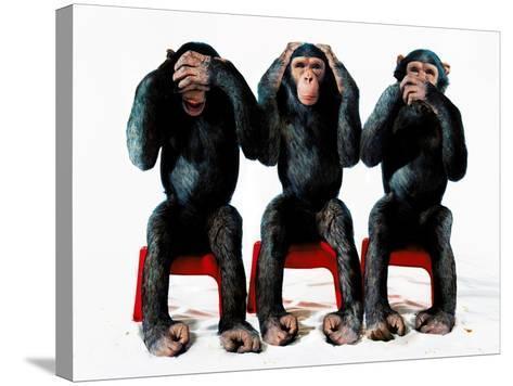 Three chimpanzees-Holger Scheibe-Stretched Canvas Print