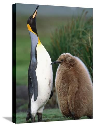King Penguin Adult and Chick-Kevin Schafer-Stretched Canvas Print