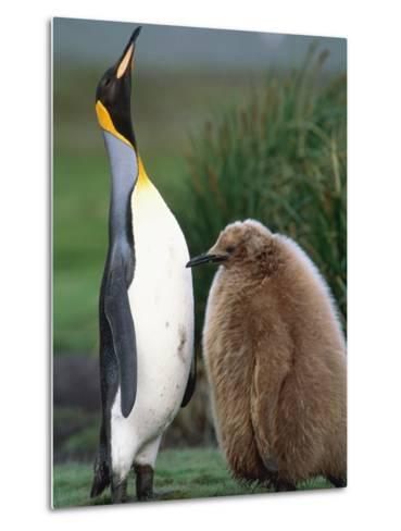 King Penguin Adult and Chick-Kevin Schafer-Metal Print
